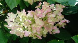 Hortensia vanille / fraise