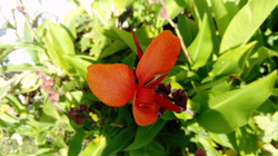Canna en fleur