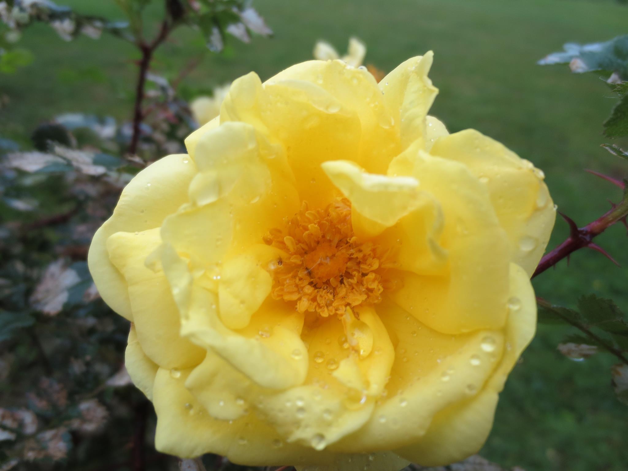 Harison's rose raindrops