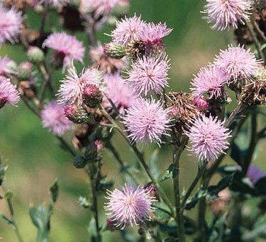 Weed of the month - Cirsium arvense