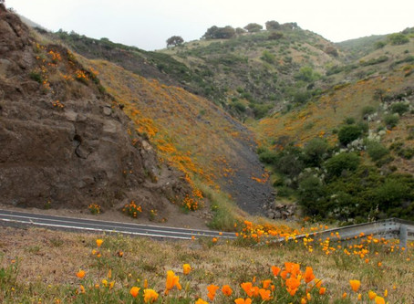 Weed of the month – the California poppy