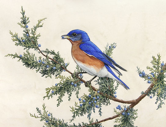 Alex Warnick- Eastern Bluebird.jpg