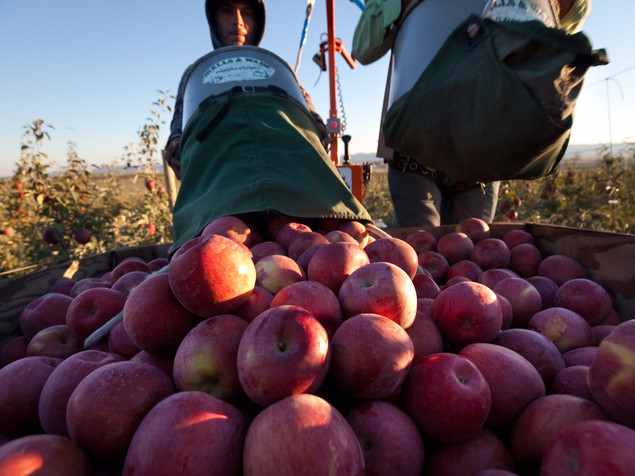 To Save Apples, Look To Their Wild Roots
