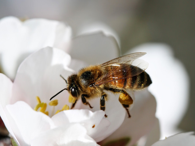 No Offense, American Bees, But Your Sperm Isn't Cutting It