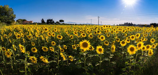 Sunflowers of Livorno