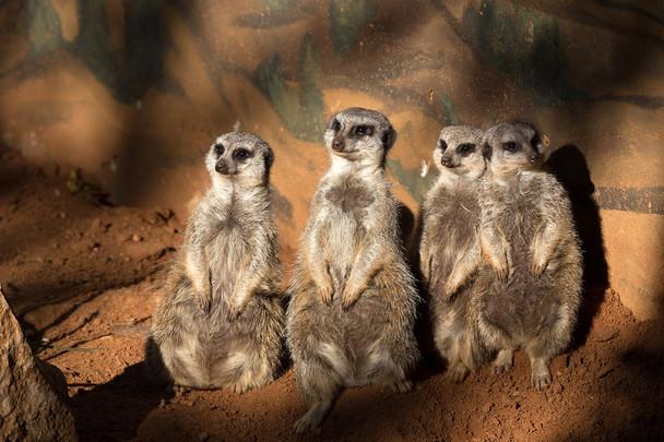 A Company of Meerkats