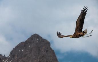 Flying Hawk
