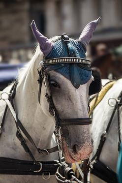 Tired Fiaker Horse