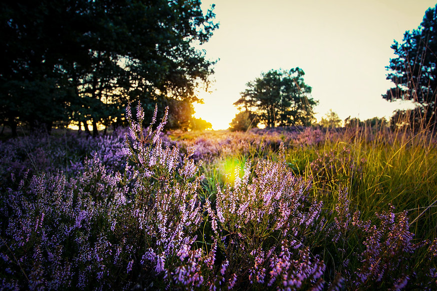 purple-lavender-on-field-during-sunset-7