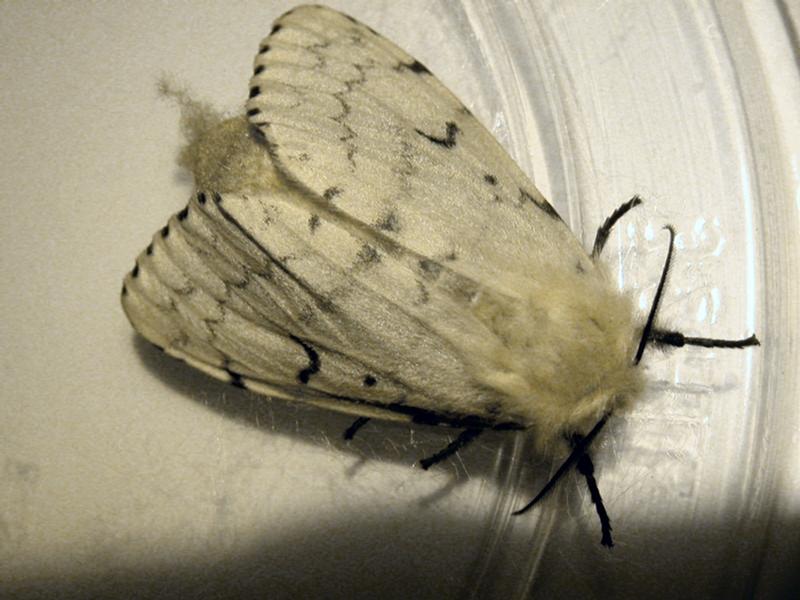 Adult Female Gypsy Moth
