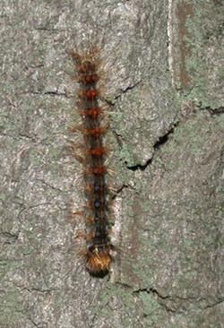 Collapsed larvae - Head Downward