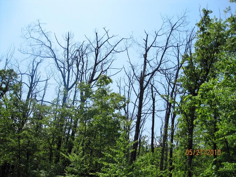 Mortality of oak trees