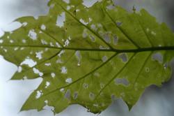 Oak leaf eaten by moths