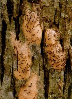 Larvae emerging