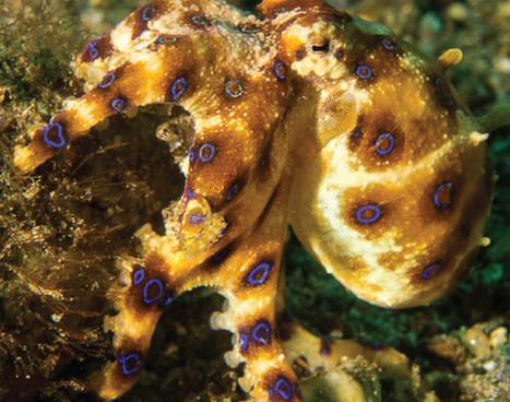 raja-ampat_bluering-octopus_01jpg