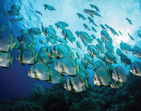raja-ampat_schooling-batfish_01jpg