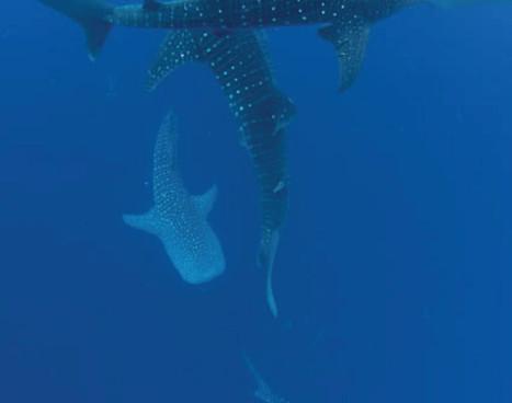 cenderawasih_whale-shark_03jpg