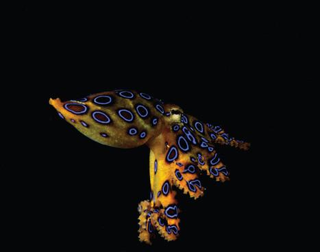 kalimantan_blue-ringged-octopus_01jpg