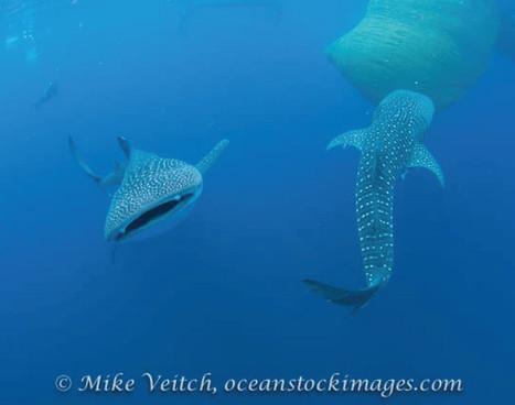 kalimantan_whale-shark_01jpg