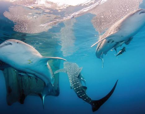 cenderawasih_whale-shark_02jpg