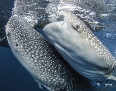 cenderawasih_whale-shark_01jpg
