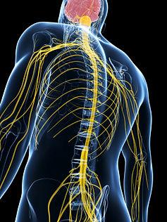 le système nerveux et la colonne vertebrale, Centre chiropratique de Lille, chiropracteur Lille