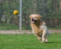 golden-retriever-750592_1920.jpg