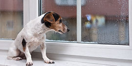 small Jack Russell Terrier dog sits alon