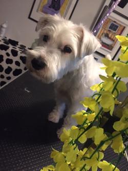 Dog grooming in Hornsey