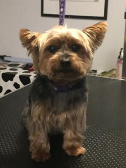 Yorkshire Terrier Love