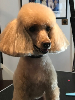 Poodle perfection