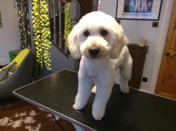 A Golden retriever Miniature Poodle