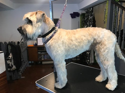 A softer Coated Wheaten Terrier
