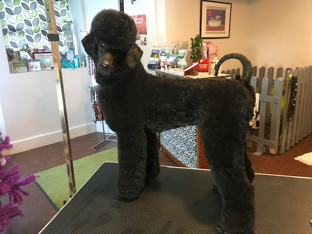 Poodle Grooming Crouch End