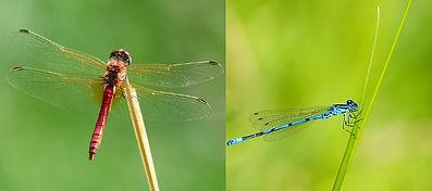 Dragonfly & Damselfly