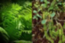 Fern & Lycopodium