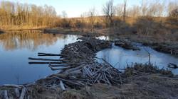 Beaver Dams Galore