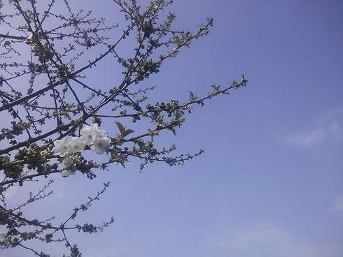 fleurs cerisier.jpg