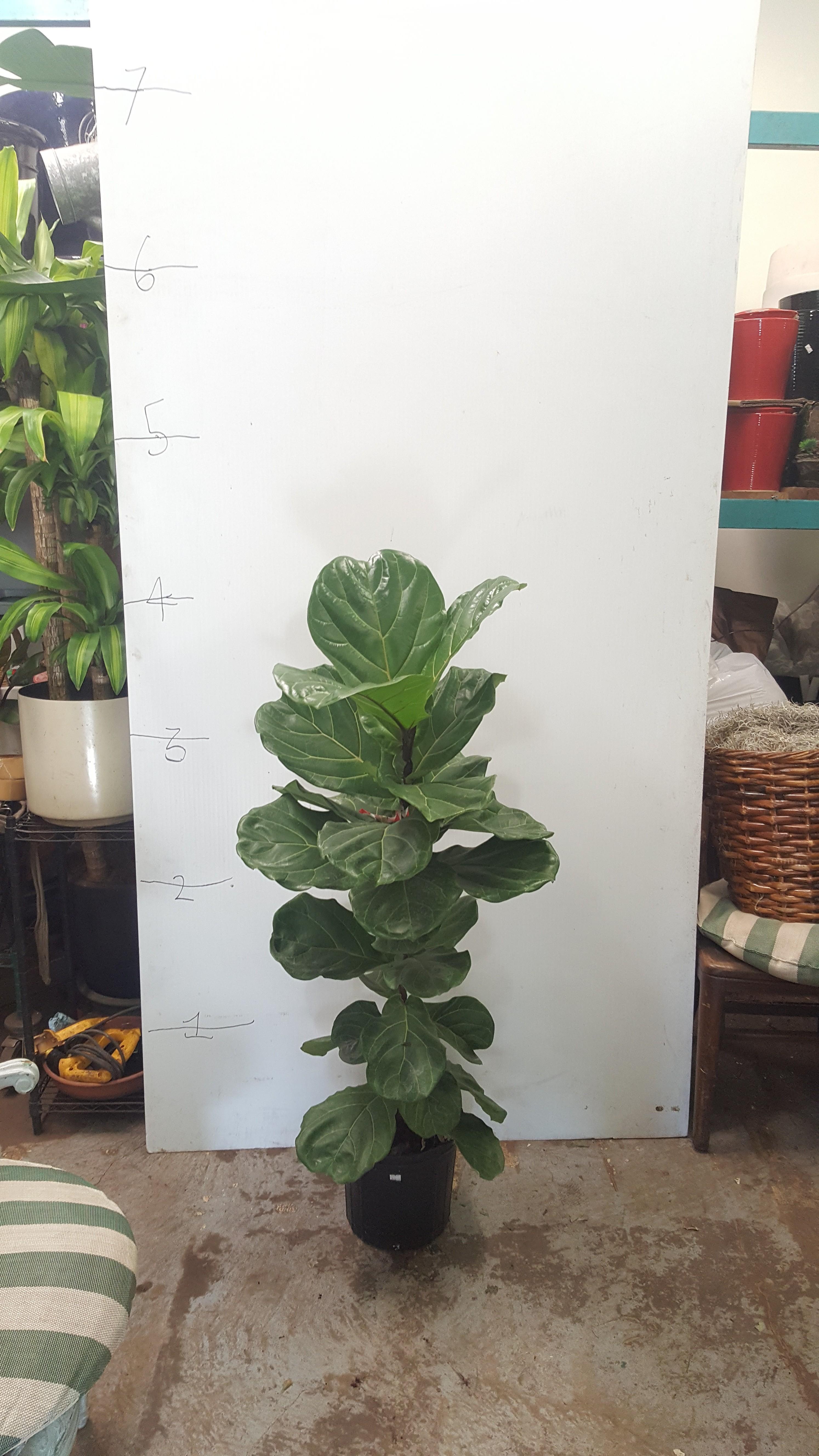 5ft Ficus Lyrata