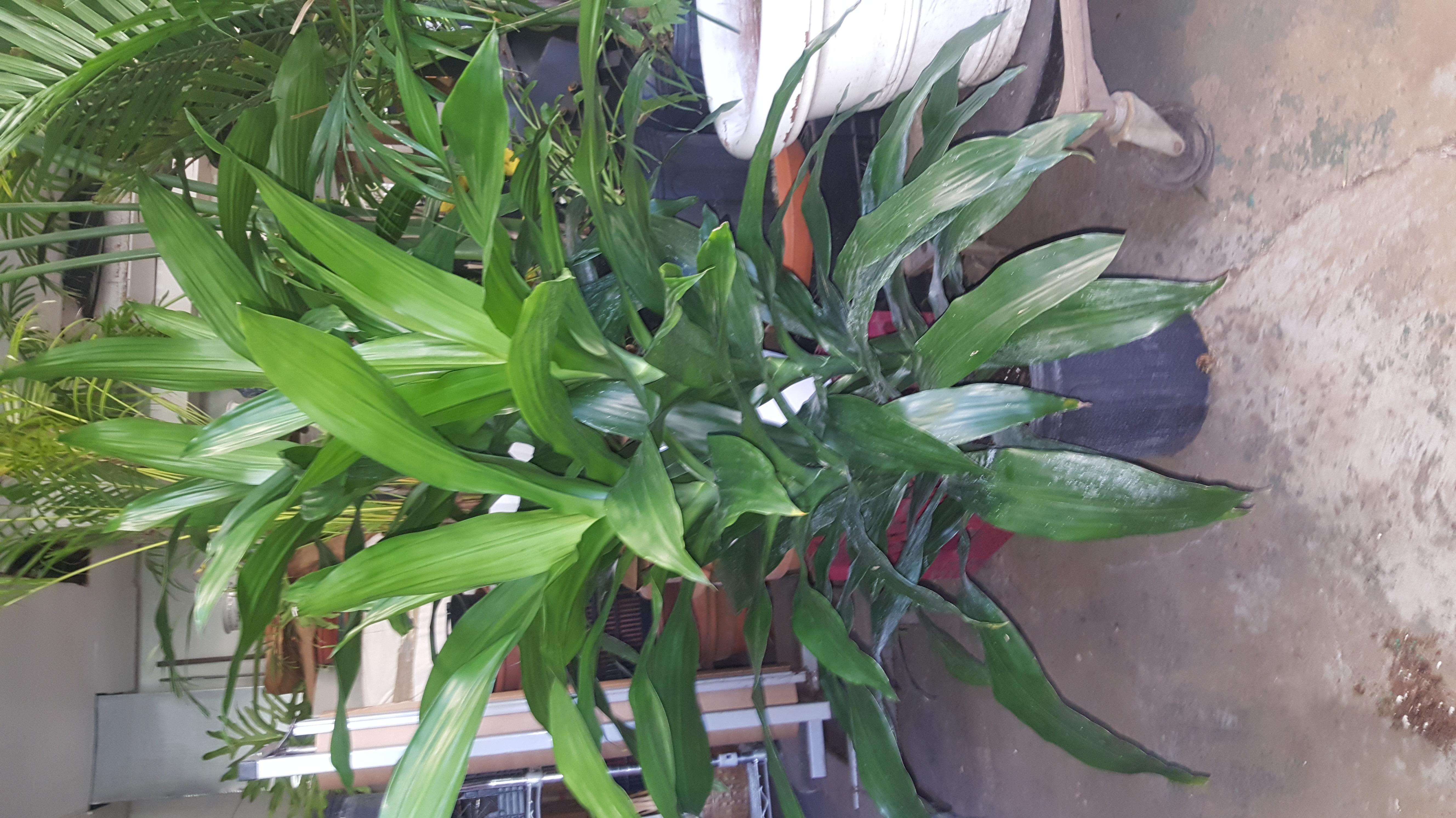 green dracena bush