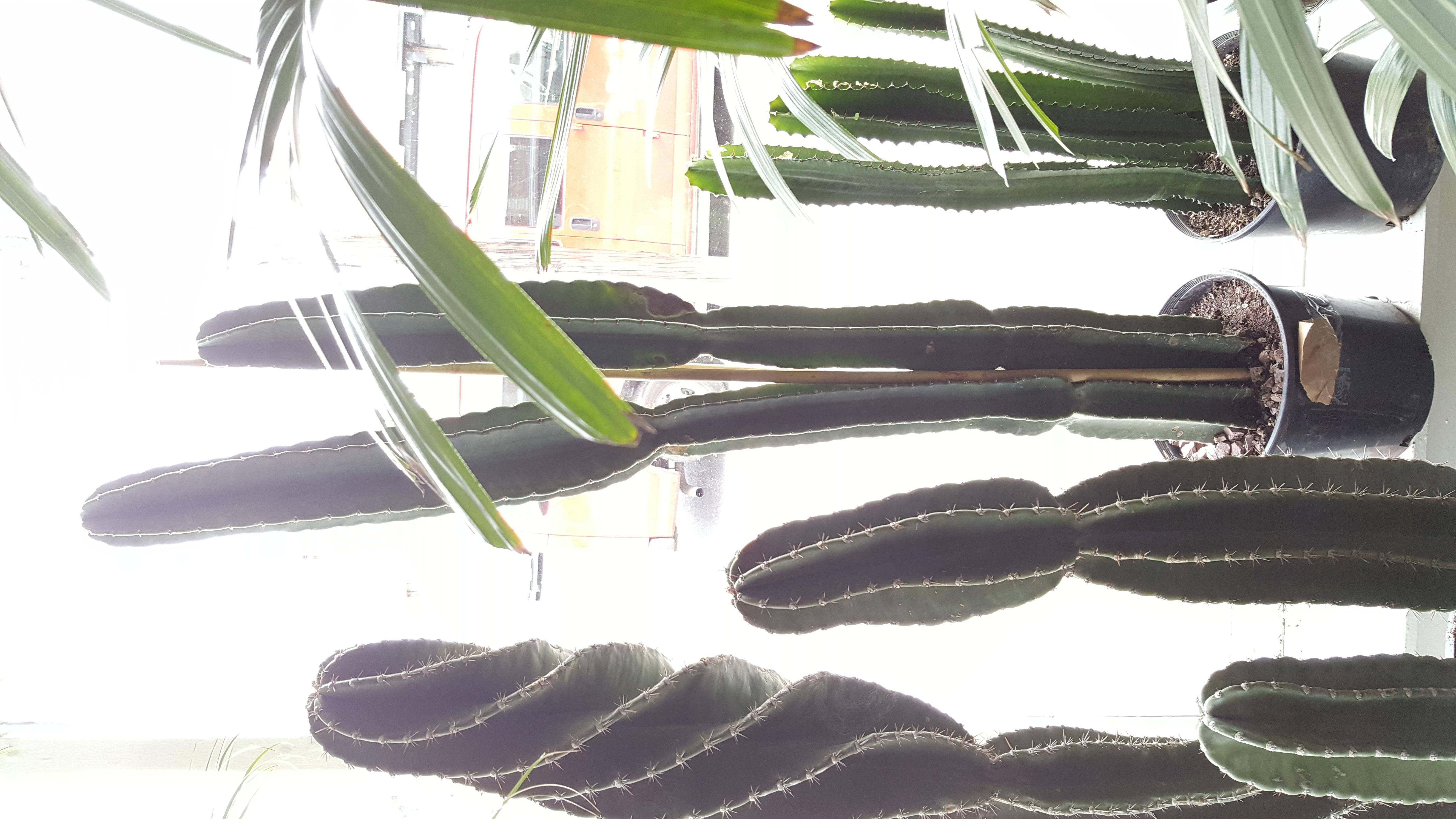 Cactus 5ft