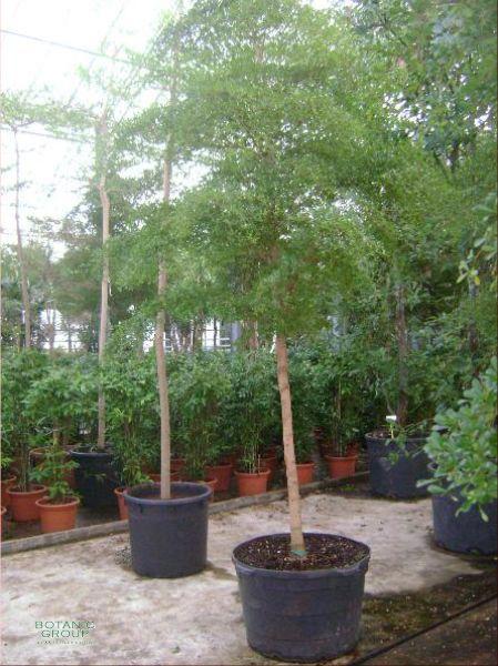 Olive tree 12ft