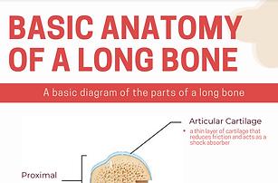 boneanatomyinfographic.png