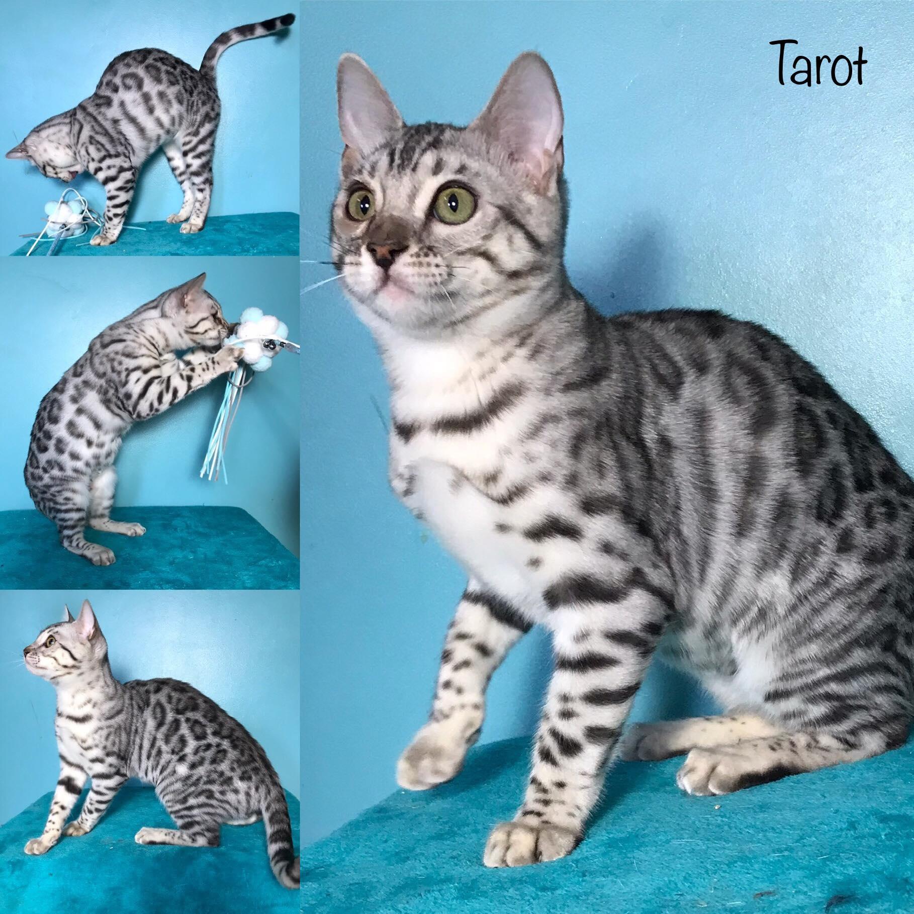 Tarot 18 weeks