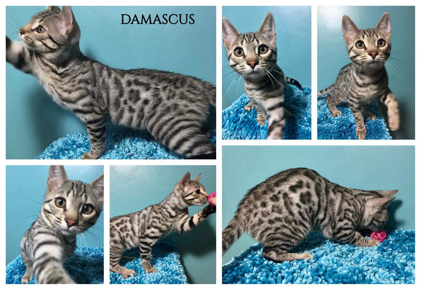 Damascus 18 weeks.jpg