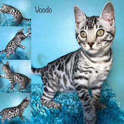 Voodo 15 weeks