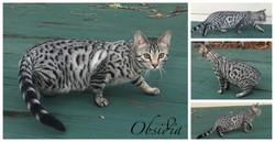 Obsidia 25 weeks