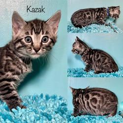 Kazak 7 weeks