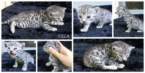 Giza 3 weeks