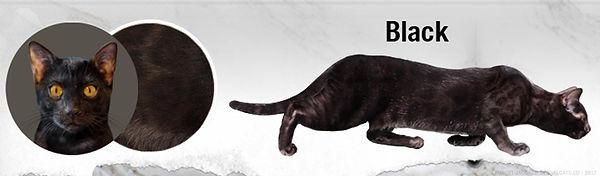 black-bengal-cats-melanistic.jpg